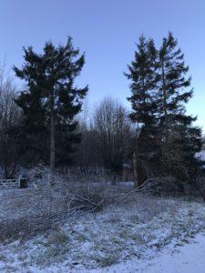 4 rødgraner (4m fra hus) i Hadsten. Opgaven var simpel og tog 3 timer. Træerne blev stynet halvt op og herefter lagt ned. Træet blev skåret op og grene aftaget. Det giver væsentligt mere lys til kunden. Kunden tog sig selv af bortkøring og oprydning. Opgaven kostede 2000 kr